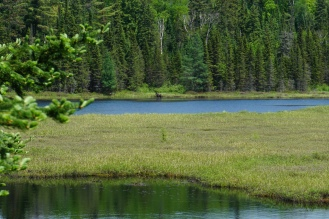 Algonquin Park Mizzy Lake Trail Moose