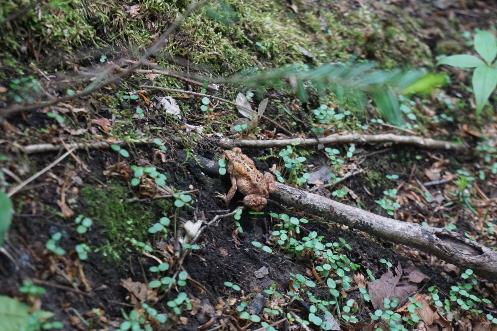 Algonquin Park Mizzy Lake Trail Frog