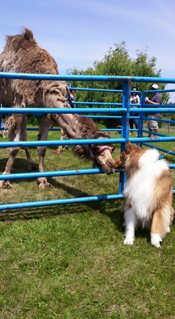 Rough Collie with camel
