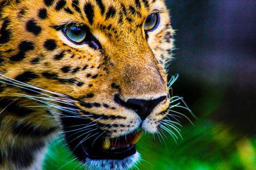 animal-animal-photography-big-cat-773000.jpg